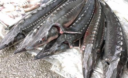 Xử lý thông tin báo nêu về nhập khẩu cá tầm